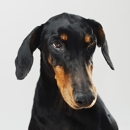 Animal Ear「Portrait of a doberman dog」:スマホ壁紙(19)