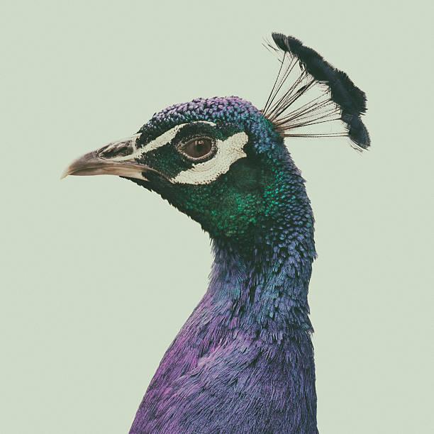 Portrait of a peacock:スマホ壁紙(壁紙.com)