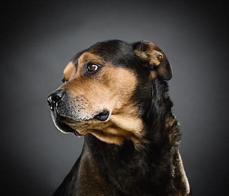Ugliness「Portrait of a mixed rottweiler dog.」:スマホ壁紙(5)