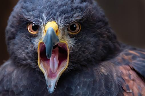 Harris Hawk「Portrait of a Harris Hawk, Canada」:スマホ壁紙(6)