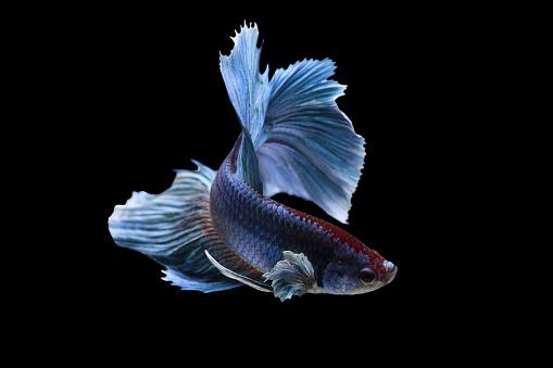 Alertness「Portrait of a betta fish, Indonesia」:スマホ壁紙(17)