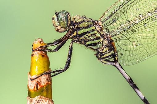 とんぼ「Portrait of a wet dragonfly on a plant, Indonesia」:スマホ壁紙(0)