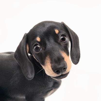 Dachshund「Portrait of a cute pedigree Dachshund puppy posing against a white background」:スマホ壁紙(3)