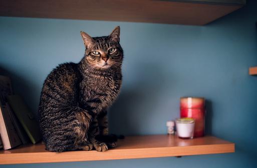 Sitting「Portrait of tabby cat sitting on a shelf」:スマホ壁紙(1)