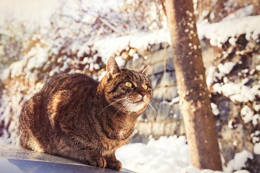 Crouching「Portrait of tabby cat sitting on motor bonnet in winter」:スマホ壁紙(9)
