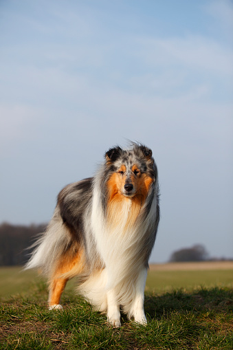 Long Hair「Portrait of Rough Collie standing on a meadow」:スマホ壁紙(12)