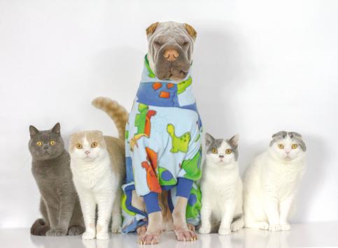 Scottish Fold Cat「Portrait of dog and cats sitting together」:スマホ壁紙(19)