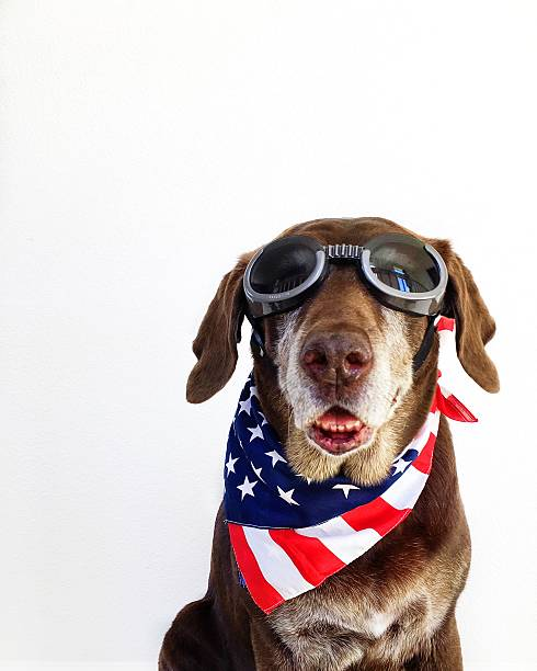 Portrait of a Chocolate Labrador retriever Dog wearing goggles and stars and stripes american neckerchief:スマホ壁紙(壁紙.com)