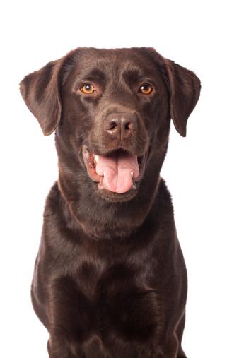 Headshot「Portrait of a Chocolate Labrador」:スマホ壁紙(9)