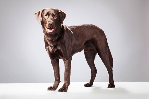 Portrait of a Chocolate Labrador:スマホ壁紙(壁紙.com)