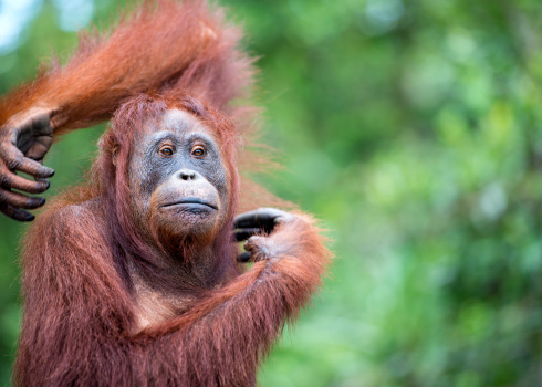 Females「Portrait of an Orang Utan, wildlife shot」:スマホ壁紙(14)