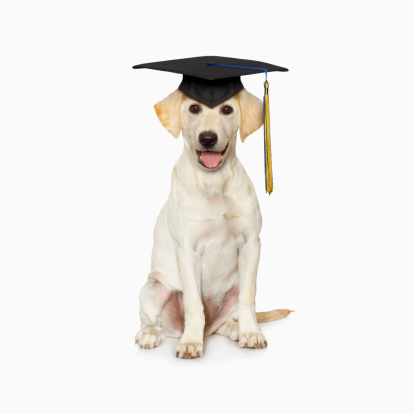 Graduation「Portrait of white Labrador retriever wearing graduation cap」:スマホ壁紙(16)