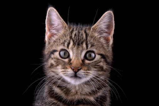 Kitten「Portrait of tabby kitten, Felis silvestris catus, in front of black background」:スマホ壁紙(4)
