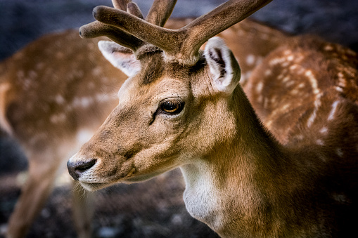 Males「Portrait of Fallow deer stag」:スマホ壁紙(9)