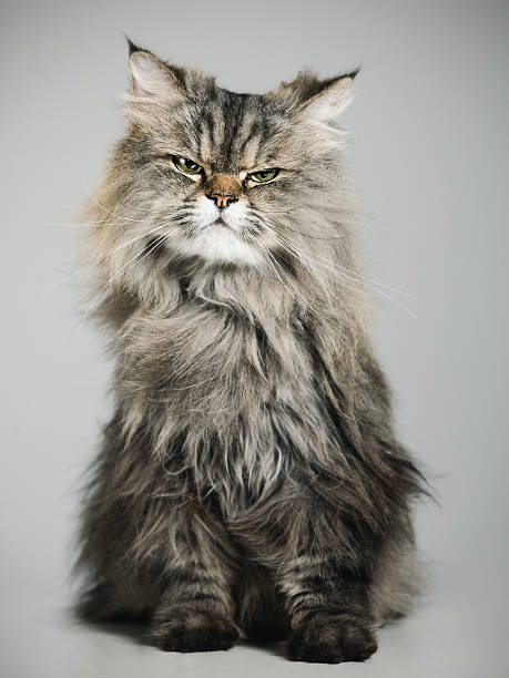 Portrait of a persian cat:スマホ壁紙(壁紙.com)