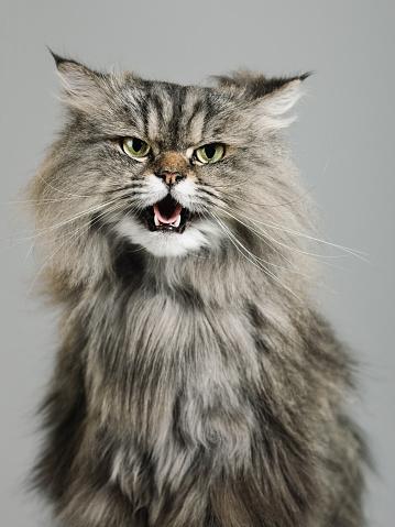 雑種のネコ「の肖像、ペルシャ猫」:スマホ壁紙(16)