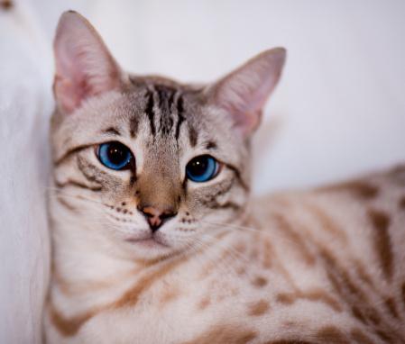 ベンガル猫「Portrait of a bengal cat's face.」:スマホ壁紙(14)