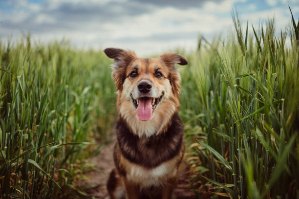Portrait of dog in the cornfield:スマホ壁紙(壁紙.com)
