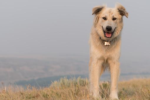 カメラ目線「Portrait of herding dog in badland setting」:スマホ壁紙(3)