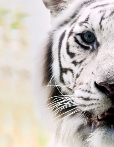 Animals Hunting「Portrait of White Bengal Tiger」:スマホ壁紙(9)