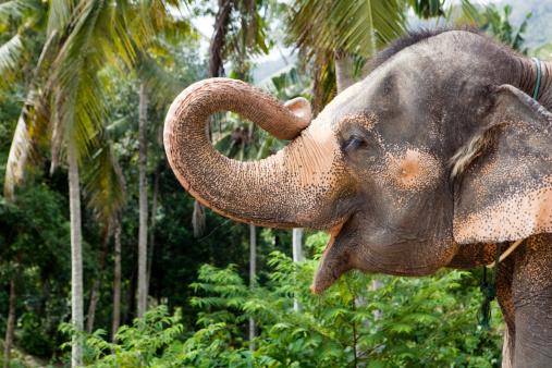 Elephant「portrait of an elefant holding up his trunk」:スマホ壁紙(6)