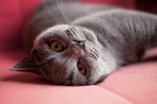 British Shorthair Cat「Portrait of a British Shorthair Cat」:スマホ壁紙(4)