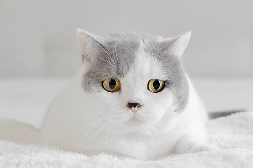 British Shorthair Cat「Portrait of a British shorthair cat」:スマホ壁紙(19)