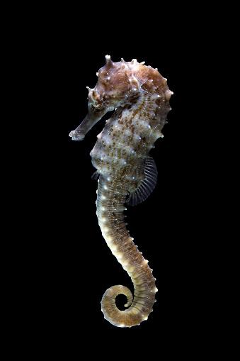 Alertness「Portrait of a seahorse」:スマホ壁紙(14)