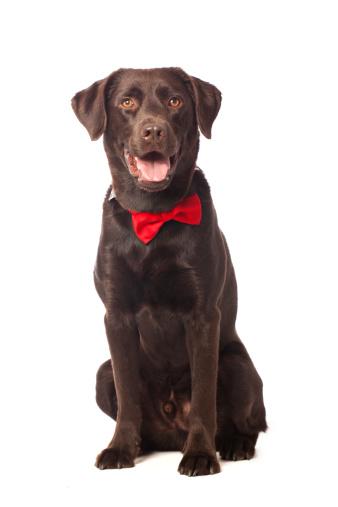 Bow Tie「Portrait of a Labrador」:スマホ壁紙(8)