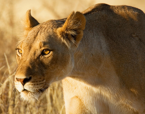 Animals Hunting「Portrait of a lioness hunting, Africa」:スマホ壁紙(6)