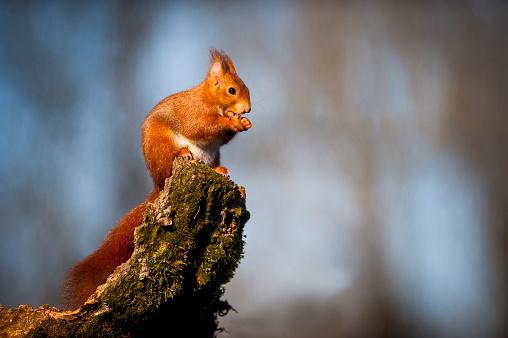 リス「Portrait of eating Eurasian red squirrel」:スマホ壁紙(6)