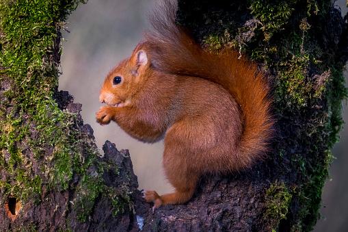 リス「Portrait of eating Eurasian red squirrel」:スマホ壁紙(5)