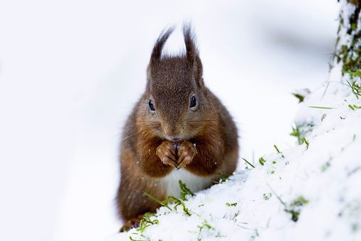 リス「Portrait of eating Eurasian red squirrel in snow」:スマホ壁紙(15)