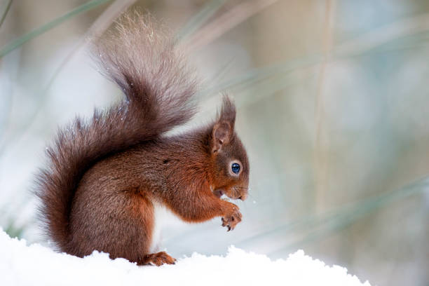 Portrait of eating Eurasian red squirrel in snow:スマホ壁紙(壁紙.com)