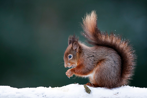 リス「Portrait of eating Eurasian red squirrel in snow」:スマホ壁紙(2)