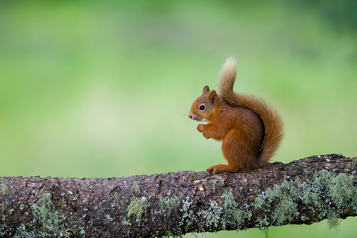 Squirrel「Portrait of eating Eurasian red squirrel on tree trunk」:スマホ壁紙(1)