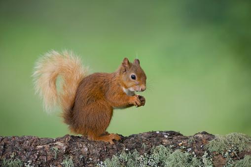 Squirrel「Portrait of eating Eurasian red squirrel on tree trunk」:スマホ壁紙(2)