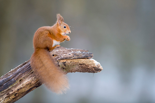 Squirrel「Portrait of eating Eurasian red squirrel crouching on tree trunk in winter」:スマホ壁紙(12)