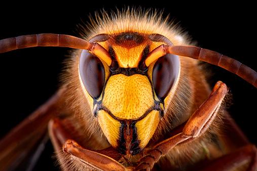 Animal Hair「Portrait of European hornet, Vespa crabro」:スマホ壁紙(13)