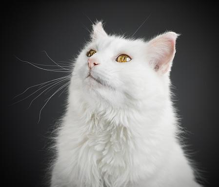 Animal Ear「Portrait of a white cat with yellow eyes.」:スマホ壁紙(0)