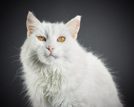 Animal Ear「Portrait of a white cat with yellow eyes.」:スマホ壁紙(2)