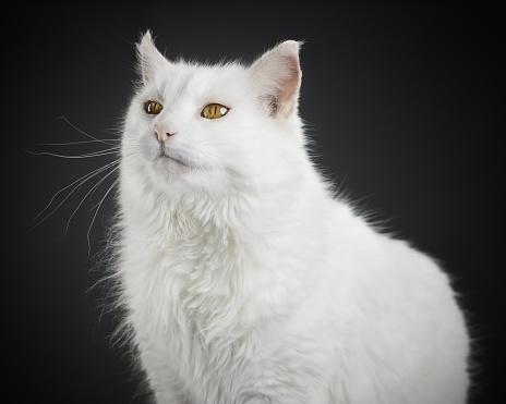 子猫「の肖像ホワイトの猫、黄色の目。」:スマホ壁紙(7)