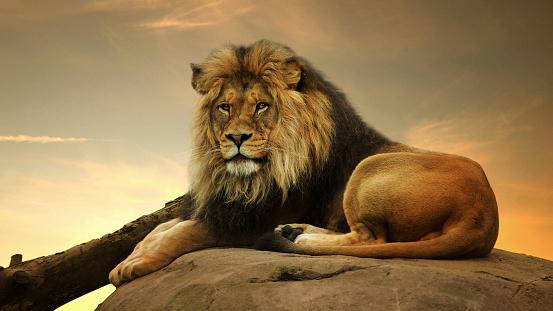 Alertness「Portrait of a lion on a rock」:スマホ壁紙(11)