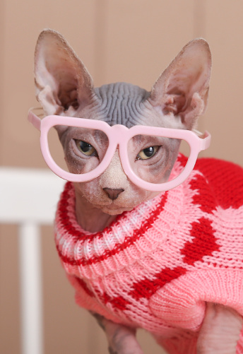 Sweater「Portrait of Sphynx cat wearing pink pullover and funny glasses」:スマホ壁紙(19)