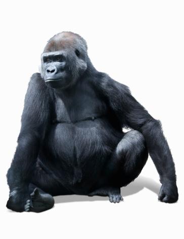 Gorilla「Portrait of a Gorilla」:スマホ壁紙(18)