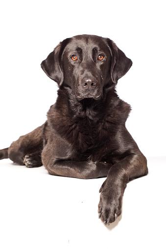カメラ目線「ポートレートのある犬種ラブラドール州」:スマホ壁紙(5)