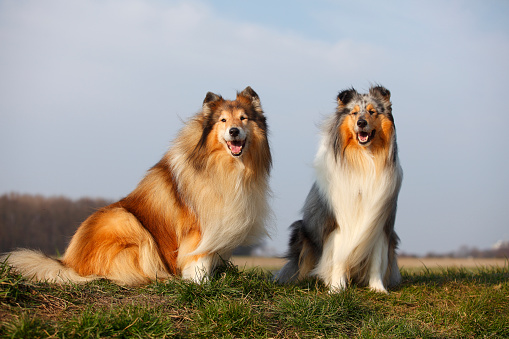 Long Hair「Portrait of two Rough Collies sitting on a meadow」:スマホ壁紙(19)