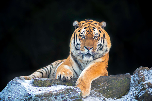 Tiger「Portrait of Siberian Tiger (Panthera tigris altaica) in Snow opn the top of a high rock」:スマホ壁紙(11)