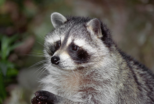 Raccoon「Portrait of Raccoon (Procyon lotor) foraging, Washington State, USA」:スマホ壁紙(7)
