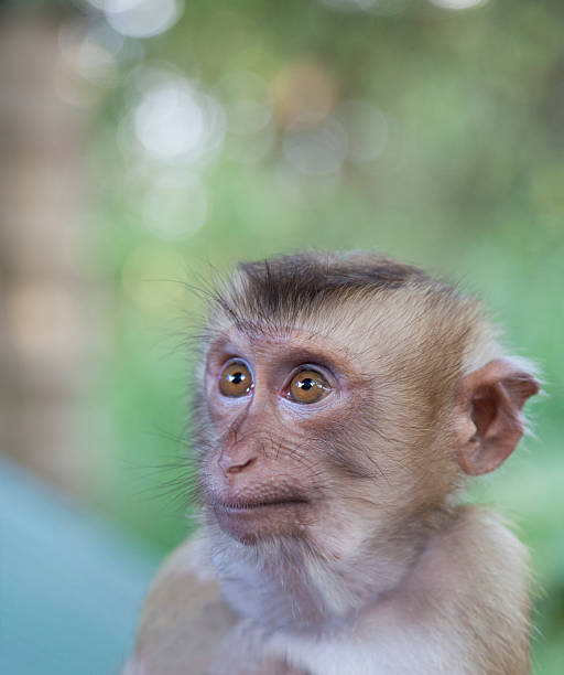 Portrait of attentive young Macaque monkey:スマホ壁紙(壁紙.com)